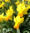 Jetfire daffodils bloom early and form dense clumps of blooms.