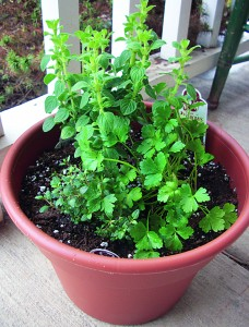 This herb container garden has oregano, thyme and flat-leaf parsley. As a precaution, during early spring's variable temperatures, it's a prudent idea to bring the herb planting under cover at night.
