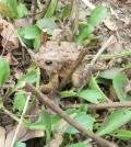 "Toads such as this one are among beneficial animals in gardens. Since they are well camouflaged, their presence is sometimes ""startling."""