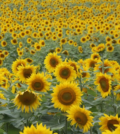Hendel's sunflowers one
