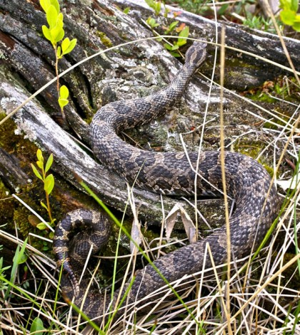 Find out what to do if you encounter an Eastern Massasauga rattlesnake.