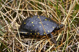 Spotted turtle, a Bergen swamp inhabitant.