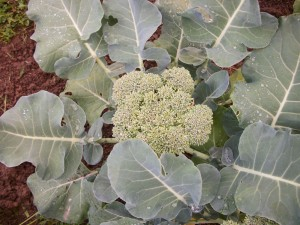 Even kids enjoy homegrown broccoli.