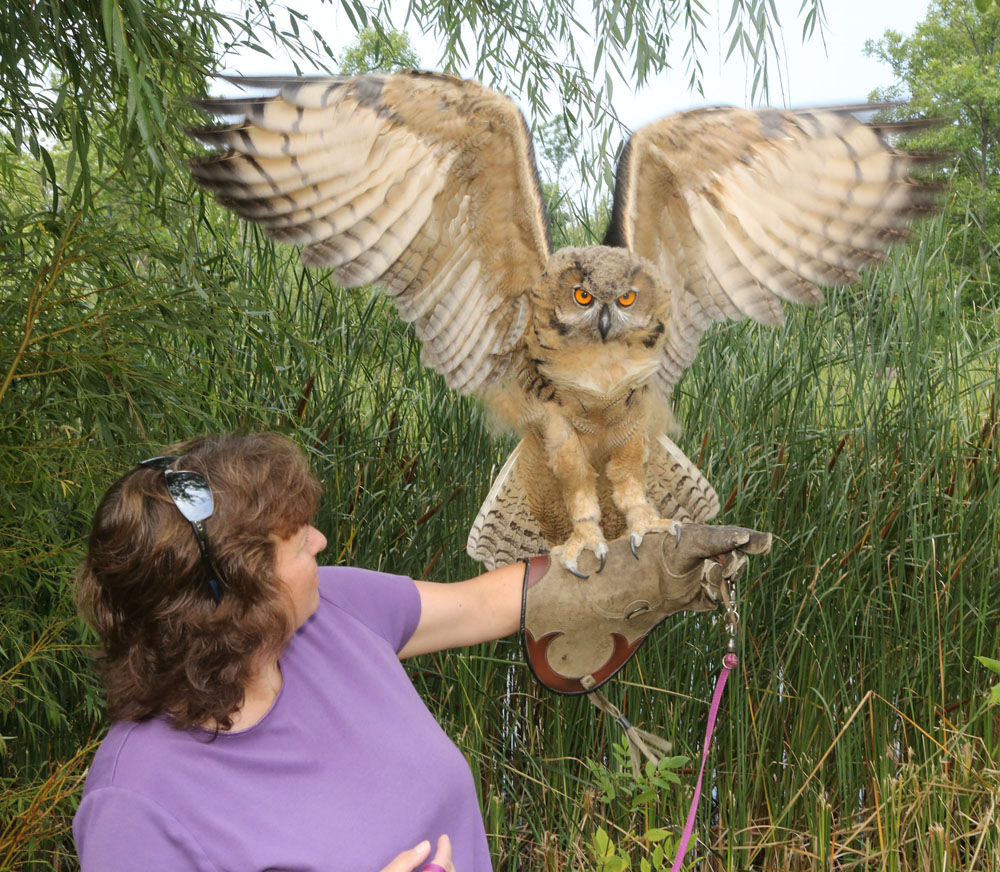 Eurasian Eagle Owl added to raptor program - Westside News