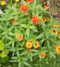 garden column healthy zinnias