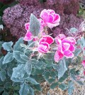 Knock Out roses edged in frost October 12, 2014.