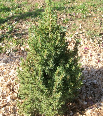 Evergreen, like this dwarf Alberta spruce, can benefit from some extra protection to get them through the winter months. K. Gabalski photo.