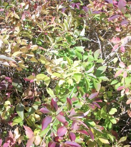 Forsythia foliage in multi hues. K Gabalski photo.
