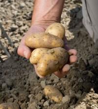 potatoes thinkstock b&w