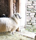 Netty, a Navajo Churro sheep, basks in some sunlight as her lamb, Anna, peers over her.