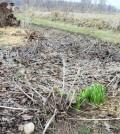 Be careful when cleaning garden beds. Tender shoots of perennials are emerging now. K. Gabalski photo.