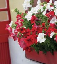 red petunia thinkstock