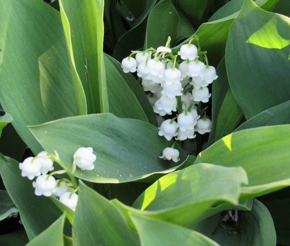 Put some scents in the garden westside news the delicate flowers of lily of the valley have an especially sweet scent k izmirmasajfo