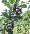The season of Juneberries is nearly over at Robb Farms on Gallup Road. The versatile berries can be eaten fresh and used in baked goods.
