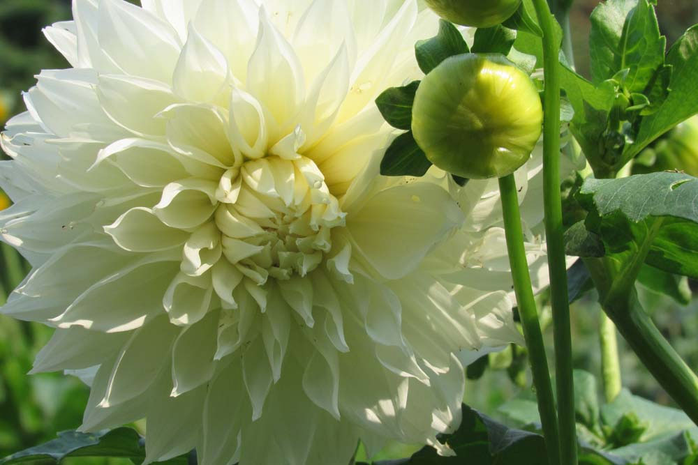 A bright white dahlia shines in the September cutting garden, signaling that summer is winding down. Dahlias bloom late in the season providing interest in the garden and blooms for bouquets until frost. K.Gabalski photo