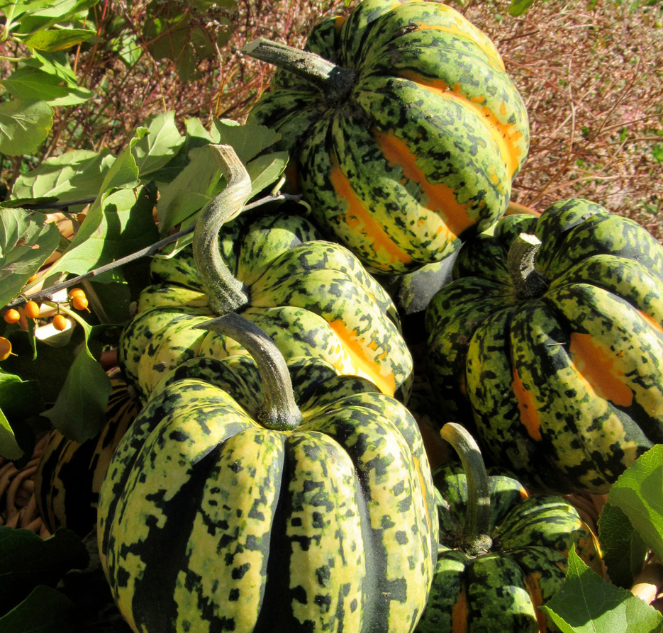 Compact fruits of Carnival winter squash are super sweet to eat and also make attractive additions to harvest-themed centerpieces. K. Gabalski photo