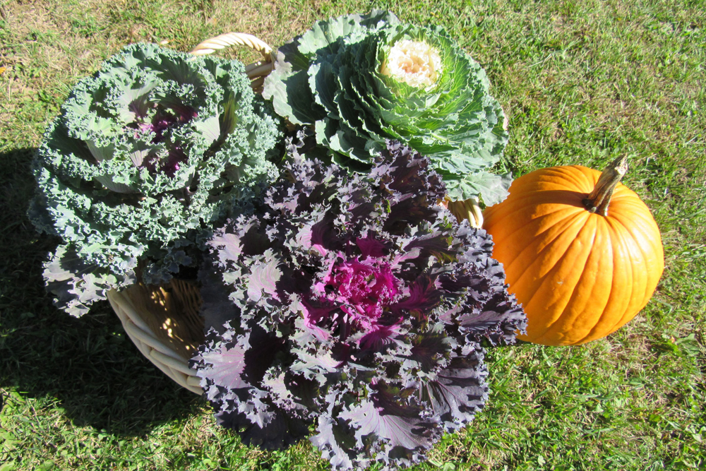 "Ornamental kale is fun to plant now for late autumn decorating. These three colorful ""heads'"" which look like huge cabbage rose blooms, are destined for a fall planter. Autumn is a wonderful time for planting.