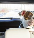 Travel w:pet boxer