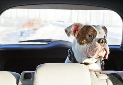 Travel w:pet boxer