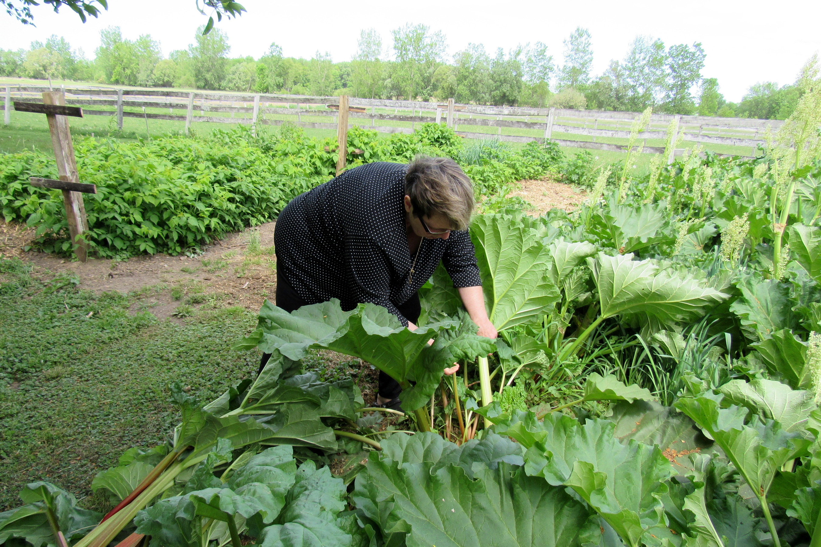Lori Skoog - local gardener/grower extraordinaire - harvests rhubarb at Skoog Farm in the town of Sweden in a photo taken during the 2015 harvest.  Lori makes scrumptious pies with her lovely tart leaf stalks. K. Gabalski photo