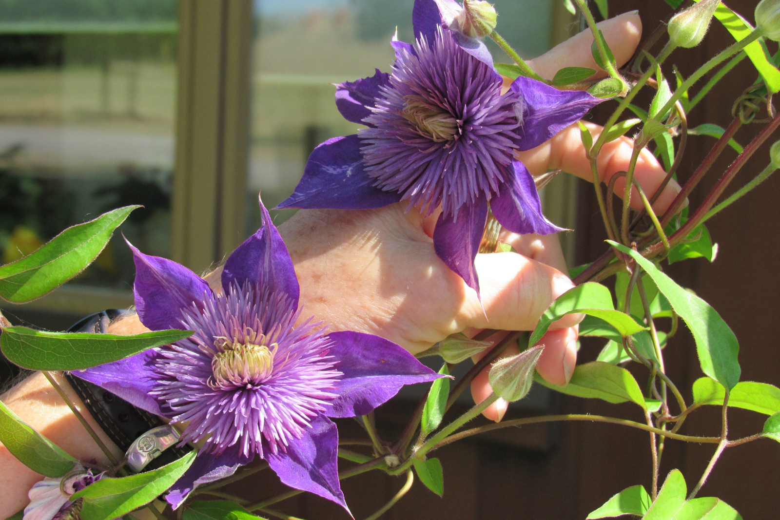 Eileen Sorochty holds the blossom of an unidentified clematis in the front yard of her home in Albion.  Her garden and five others are part of the Garden Path Tour 2016 set for July 16. K. Gabalski photo