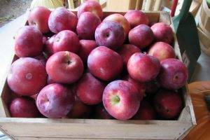 The local apple crop is one of the great delights of autumn in Western New York. Brightly's Farm Market has many varieties from which to choose. K. Gabalski photo