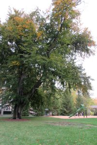 The giant copper beech tree at South Ave. Park in the Village of Brockport stands sentinel over the new playground. K. Gabalski photo