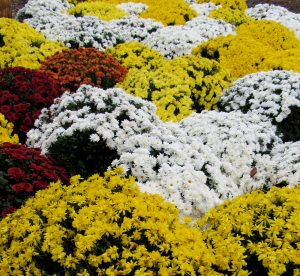 Hardy fall mums at Brightly's Farm Market in Hamlin make a colorful, quilt-like display. K. Gabalski photo