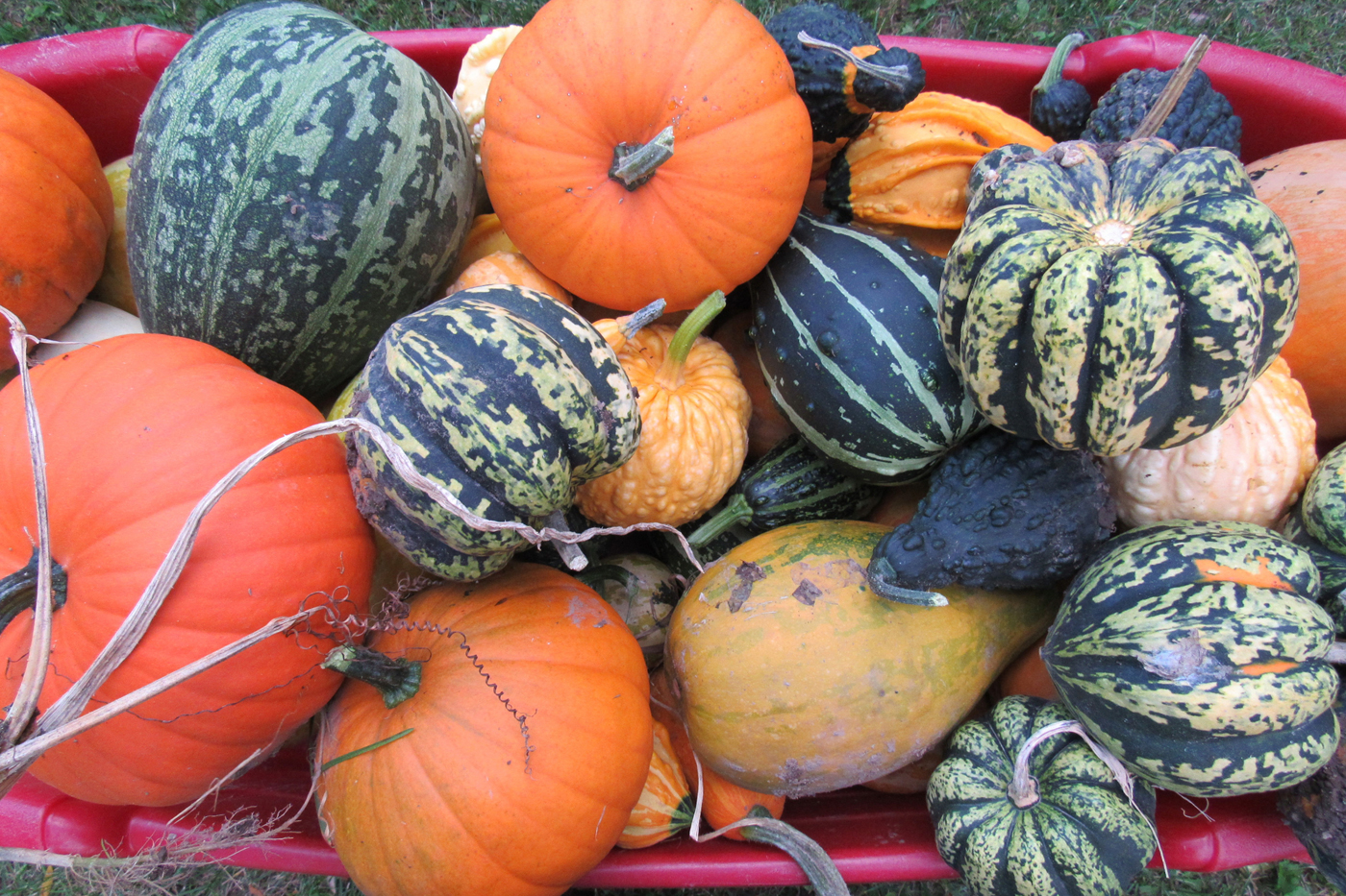 A mix of recently harvested pumpkins, winter squash and gourds. Knowing how to care for these fruits after harvest can prolong their life and beauty. K. Gabalski photo