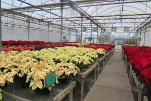 A festive greenhouse full of poinsettias at Kirby's Farm Market in Brockport ... the traditional Christmas plant makes a great gift for gardeners. K. Gabalski photo