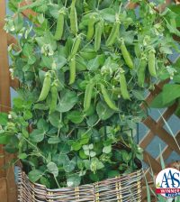 All-America Selections 2017 winner Pea 'Patio Pride' which matures in only 40 days. Photo by the National Garden Bureau.