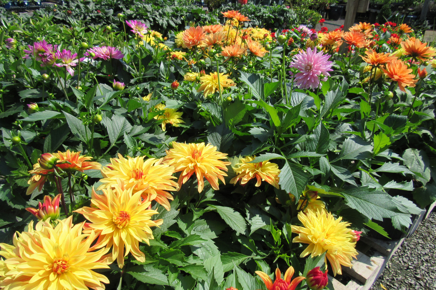 A display of flowering dahlias creates an impressive rainbow of color at Sara's. K. Gabalski photo