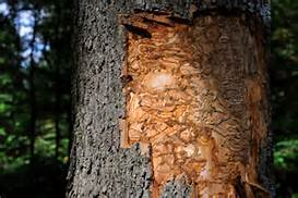 Signs of Emerald Ash Borer damage.