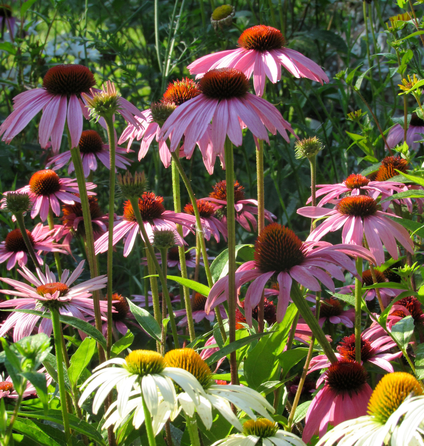 Purple Coneflowers are easy to grow from seed in the garden. K. Gabalski photo