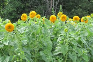 Cheery, yellow sunflowers are ready for cutting. The last planting of sunflowers was completed in late August. The blooms will be ready for fall bouquets in October. K. Gabalski photo
