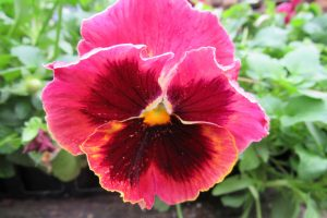 Pansies love growing in fall weather and are an alternative to the more popular chrysanthemum. K. Gabalski photo