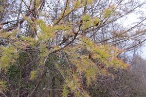 Cones and yellow needles of the tamarack or larch tree in mid-November before the seasonal drop. The cones can stay on the trees for years after dropping their seed. Photo by K. Gabalski