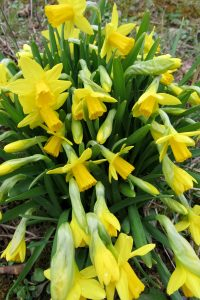 """Miniature daffodils like the """"tete-a-tete"""" variety can be forced inside in pots for earlier bloom. K. Gabalski photo"""
