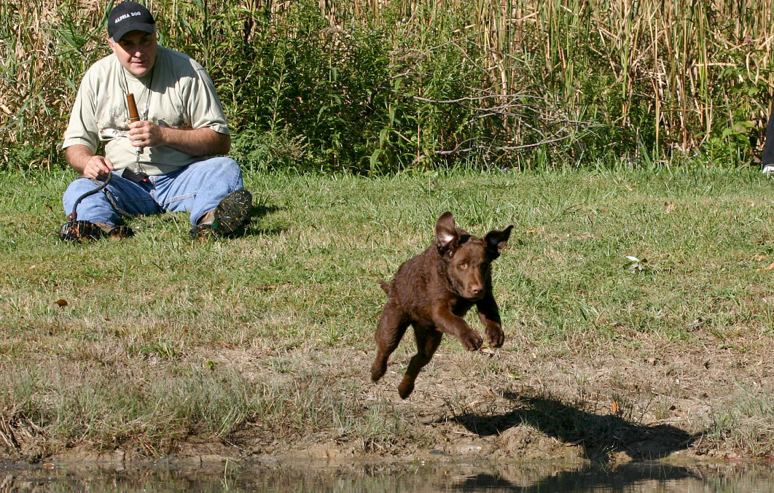 Tom Frew, owner of Spendthrift Kennels in LeRoy, watches Chessie pup Maya launch for a bumper. Provided photo