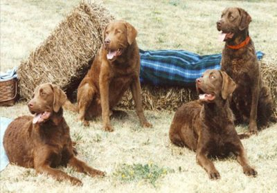These stoic retrievers represent three generations of titled Spendthrift Chesapeakes. Provided photo