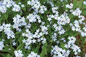 The tiny blooms of Myosotis perk up the spring garden with blue blossoms and lots of charm. Photo by K. Gabalski
