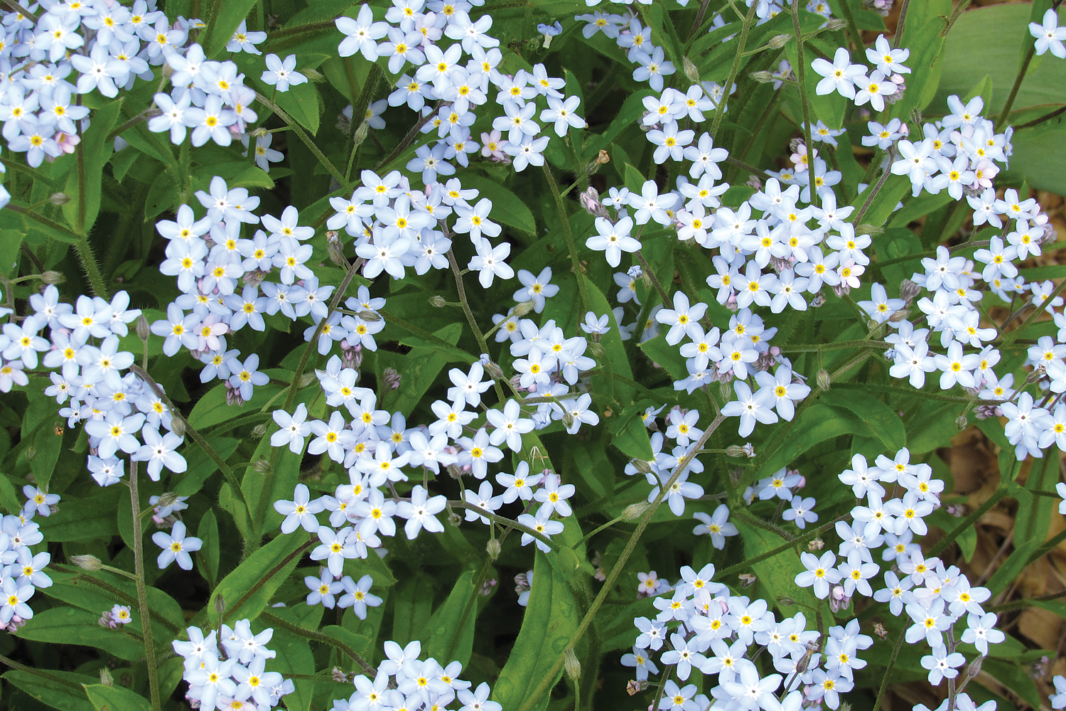 Of mulches moss and myosotis westside news the tiny blooms of myosotis perk up the spring garden with blue blossoms and lots of izmirmasajfo