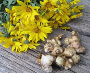 Photo showing bright yellow blooms of Jerusalem artichoke and the plant's edible tubers. Provided photo