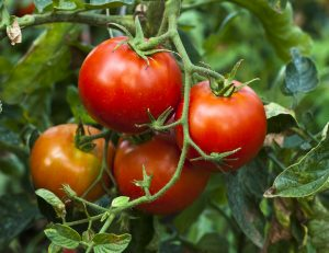 Tomatoes are the most popular vegetable garden plant. Photo courtesy of oxfordaustralia.files.woodpress.com.