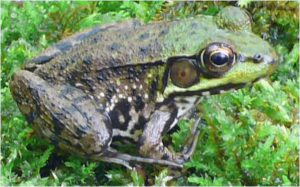 A green frog. Provided photo