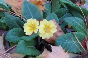 I am grateful for many things this Thanksgiving, including these primroses blooming this November in my garden. Photo by Kristina Gabalski