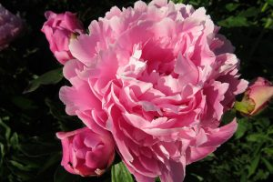 Proper care of peonies in autumn helps assure beautiful blooms next spring. Photo by Kristina Gabalski