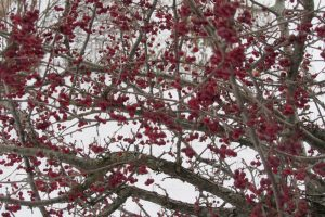 Crabapples add color to the winter landscape and attact beautiful songbirds who relish the fruit in winter. I spotted a Robin in these branches earlier in January.