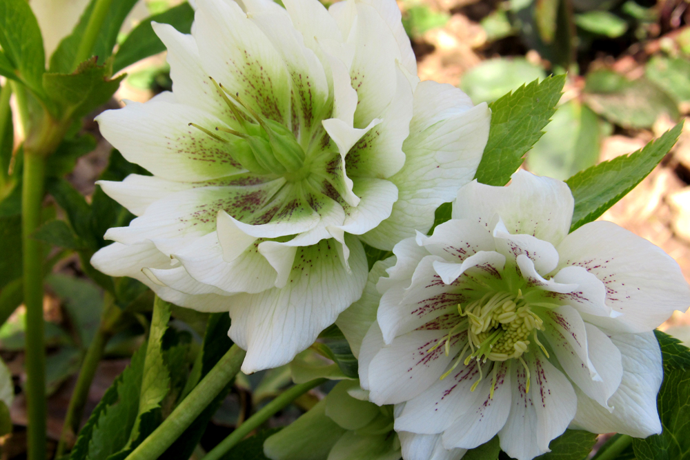 A Lenten Rose blooming in my garden last April. Photo by Kristina Gabalski