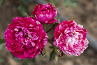 Candy Sunblaze® miniature rose is great for patios and small gardens.